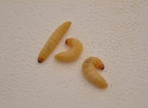 gusanos en la cocina