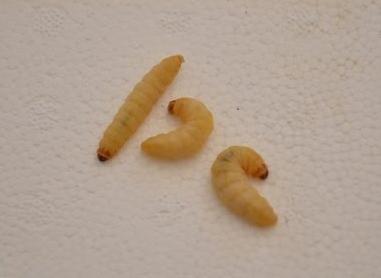 significado de los gusanos en la comida